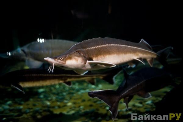 Красная рыба Руси Байкальский осетр
