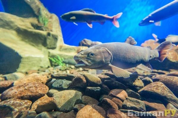 Виды рыб живущие в Байкале